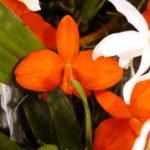 カトレア コクシネアは何色の花?特徴は?
