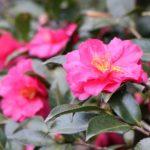 八重咲きサザンカの品種一覧まとめ。