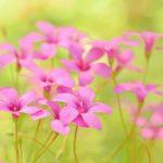 ピンク色の花のカタバミの種類とは?特徴は?