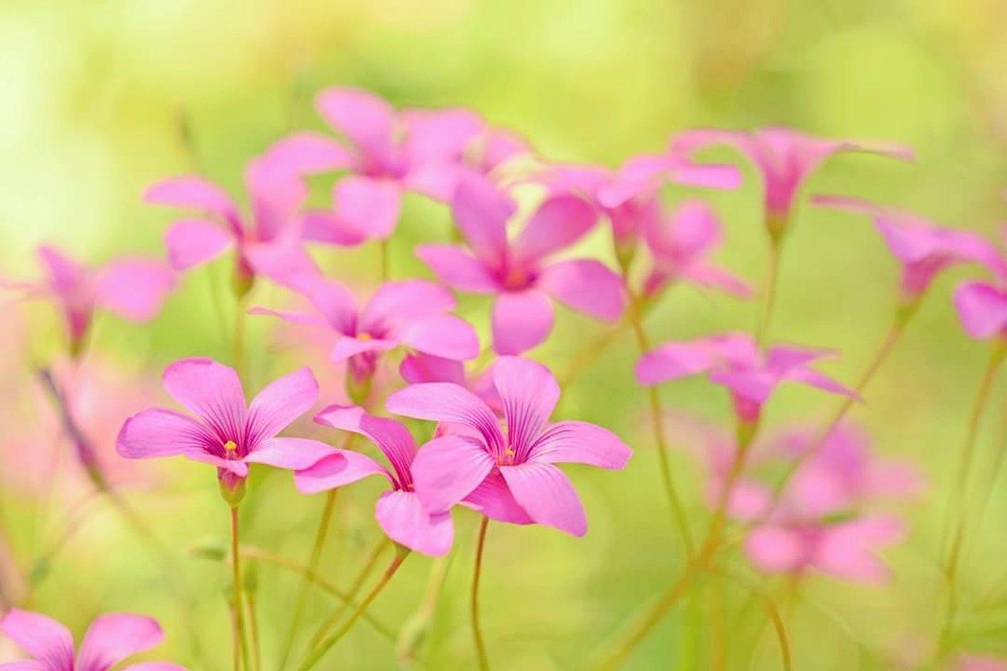 カタバミ 花 ピンク