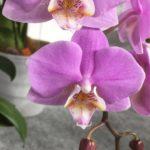 カトレア オーキッドは何色の花?特徴は?
