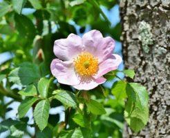 アネモネ 八重咲き 育て方