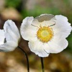 アネモネの花の名前の由来や英語での読み方とは?