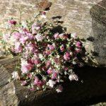 カスミソウの花の開花時期はいつ頃!?