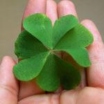 四つ葉のカタバミが生える確率はどれくらい?