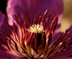クレマチス 種類 紫