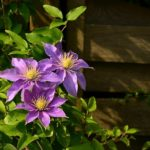 【クレマチスの花が咲かない原因や対策方法とは!?】