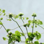 クレマチスの色別の花言葉の意味や由来について