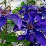 鉢植えでのクレマチスの上手な育て方や水やり方法について