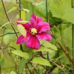 クレマチスの花後の剪定方法や時期について