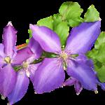 クレマチススカーレットの栽培に挑戦!育て方について