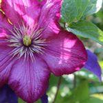 クレマチスの八重咲き品種の育て方とは!?