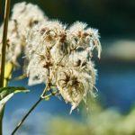 【青色の花を咲かせるクレマチスの品種とは!?】