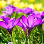 クロッカスの花の特徴!おしべとめしべの数は?