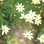 コレオプシス ムーンビームの花の色とは?特徴は?
