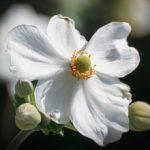 アネモネの花を咲かせる上手な冬の管理方法とは?