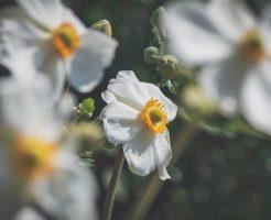 アネモネ 切り花 品種