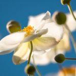 アネモネの色別の花言葉の意味や由来、英語について