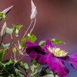 クレマチスの害虫「カイガラムシ」の駆除方法について