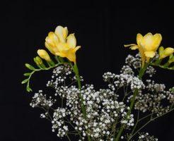 かすみ草 発芽 条件