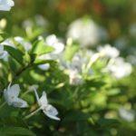 クチナシの育て方!正しい肥料のやり方や時期について