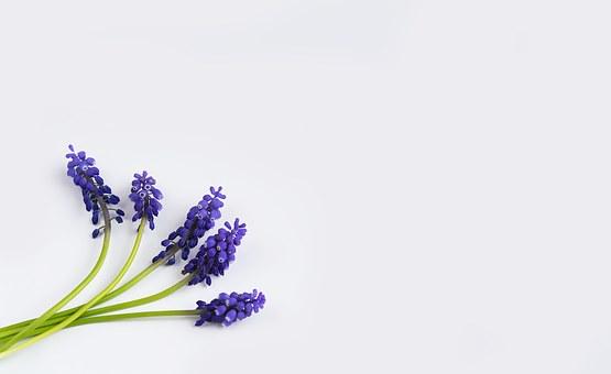 ヒヤシンス 時期 開花