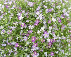 かすみ草 種まき 方法