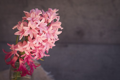 ヒヤシンス 紫 品種
