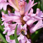 ヒヤシンスの花が咲かない原因と対策法について。