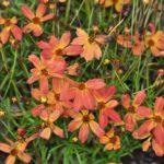 コレオプシス トロピカルレモネードの花の色とは?特徴は?