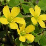 カタバミの植物学上の分類は花になるの?雑草になるの?