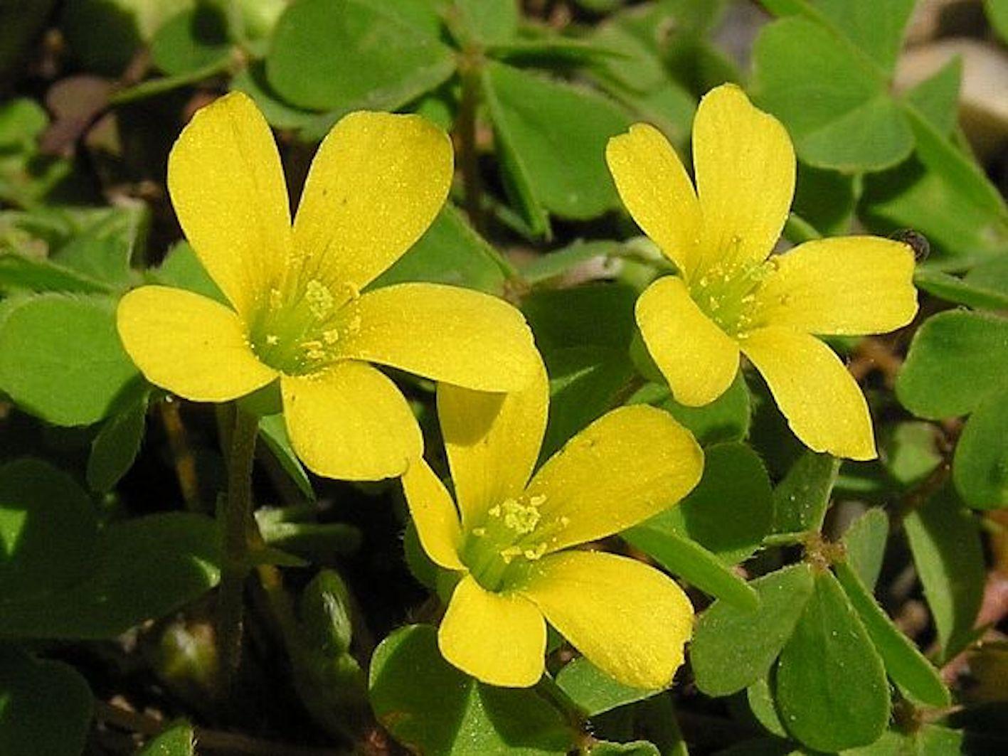 カタバミ 植物 分類