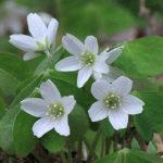 カタバミの花にはどんな色がある?種類一覧を大公開