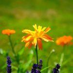 キンセンカを植える時期はいつ頃がおすすめの季節?