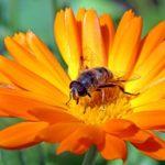 キンセンカの開花時期は春の季節?