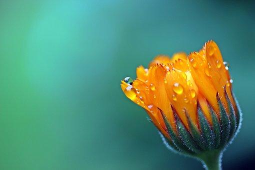 キンセンカ 花 育て方