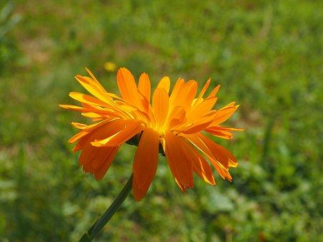 キンセンカ 切り花 栽培