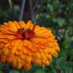 カレンデュラとキンセンカは同じ花?花言葉は違うの?