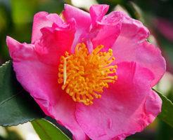 山茶花 鉢植え 育て方