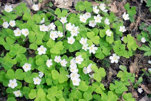 オギサリス 葉 変色