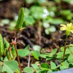 オギサリスの葉の病気にはどんな種類がある?