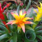 観葉植物のアナナス グズマニアは何色の花?特徴は?