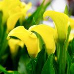 カラーの花の種類一覧のまとめ