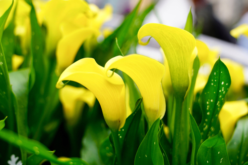 カラー 花 種類