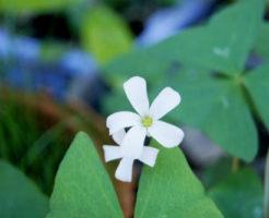 冬 花 オギサリス