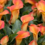 カラーの花の英語での読み方や意味とは!?