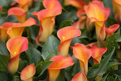 カラー 花 英語