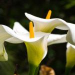 カラーの花の増やし方について