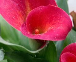 カラー 育て方 肥料