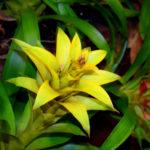 観葉植物 グズマニアを植え替える方法やコツとは?